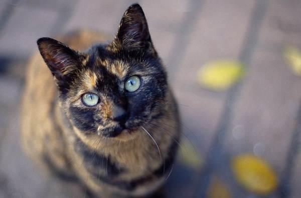 Трехцветная-кошка-Описание-особенности-приметы-и-породы-трёхцветных-кошек-12