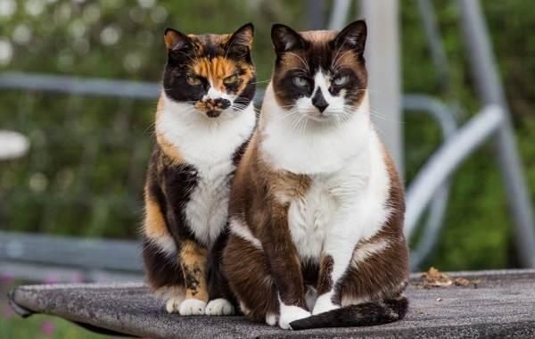 Трехцветная-кошка-Описание-особенности-приметы-и-породы-трёхцветных-кошек-14