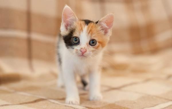 Трехцветная-кошка-Описание-особенности-приметы-и-породы-трёхцветных-кошек-16