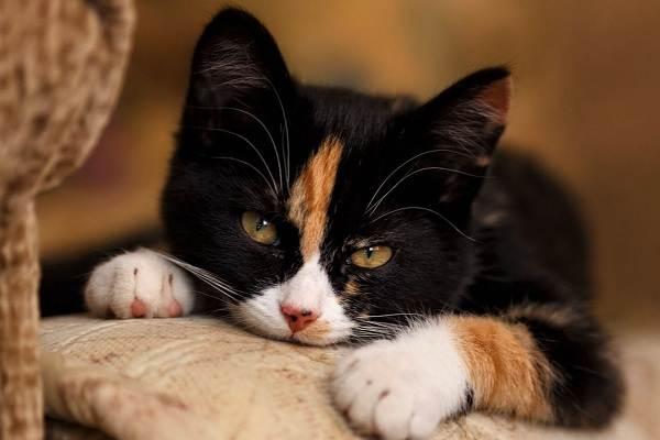 Трехцветная-кошка-Описание-особенности-приметы-и-породы-трёхцветных-кошек-17