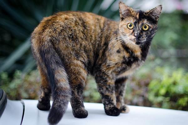 Трехцветная-кошка-Описание-особенности-приметы-и-породы-трёхцветных-кошек-3