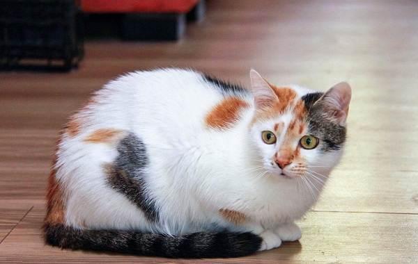 Трехцветная-кошка-Описание-особенности-приметы-и-породы-трёхцветных-кошек-5