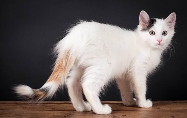 Трехцветная-кошка-Описание-особенности-приметы-и-породы-трёхцветных-кошек-6