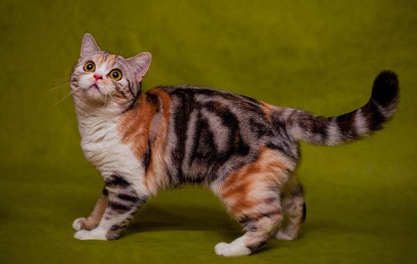 Трехцветная-кошка-Описание-особенности-приметы-и-породы-трёхцветных-кошек-7