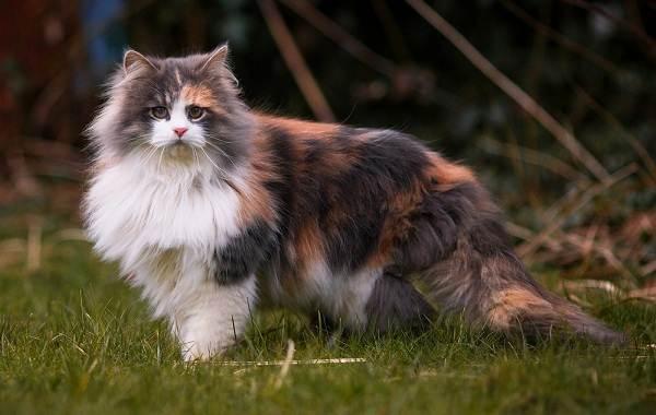 Трехцветная-кошка-Описание-особенности-приметы-и-породы-трёхцветных-кошек-8