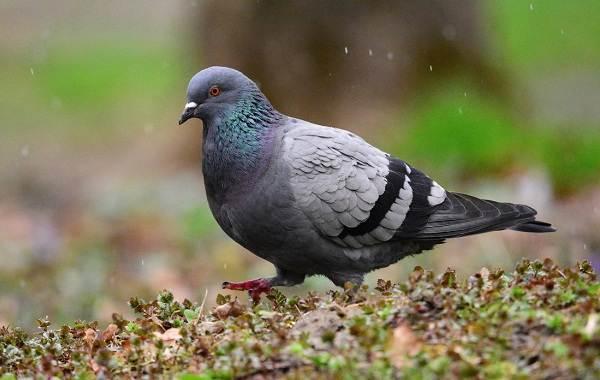 Виды-голубей-Описание-особенности-названия-и-фото-видов-голубей-1