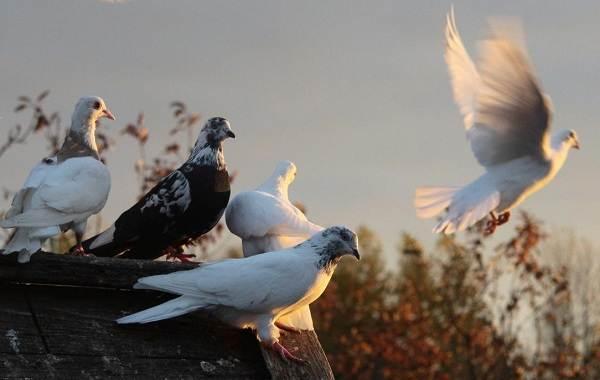 Виды-голубей-Описание-особенности-названия-и-фото-видов-голубей-26
