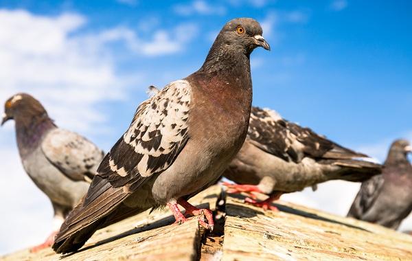Виды-голубей-Описание-особенности-названия-и-фото-видов-голубей-30