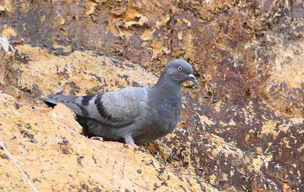 Виды-голубей-Описание-особенности-названия-и-фото-видов-голубей-32