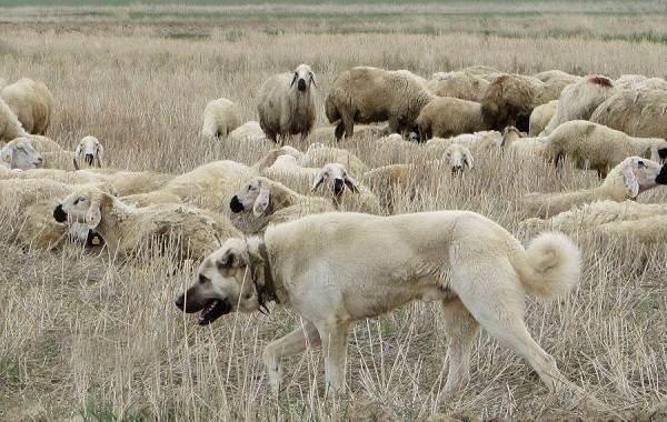 Анатолийская-овчарка-собака-Описание-особенности-характер-уход-и-цена-породы-13