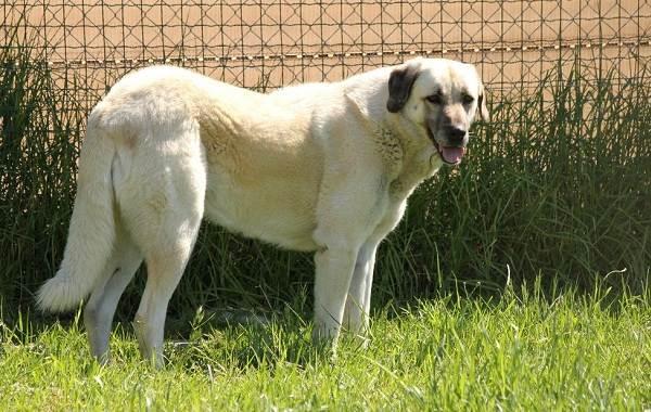 Анатолийская-овчарка-собака-Описание-особенности-характер-уход-и-цена-породы-2
