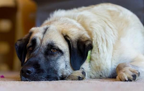 Анатолийская-овчарка-собака-Описание-особенности-характер-уход-и-цена-породы-3