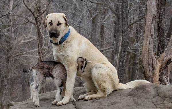 Анатолийская-овчарка-собака-Описание-особенности-характер-уход-и-цена-породы-4
