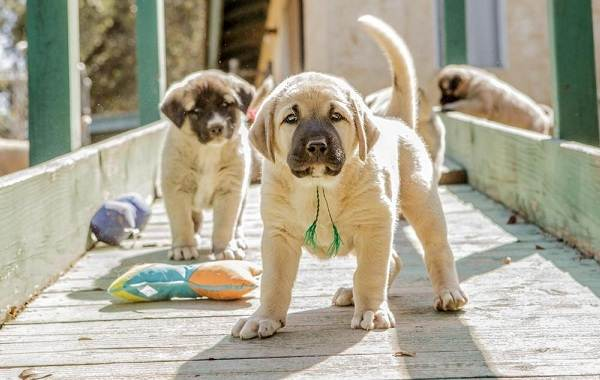 Анатолийская-овчарка-собака-Описание-особенности-характер-уход-и-цена-породы-8