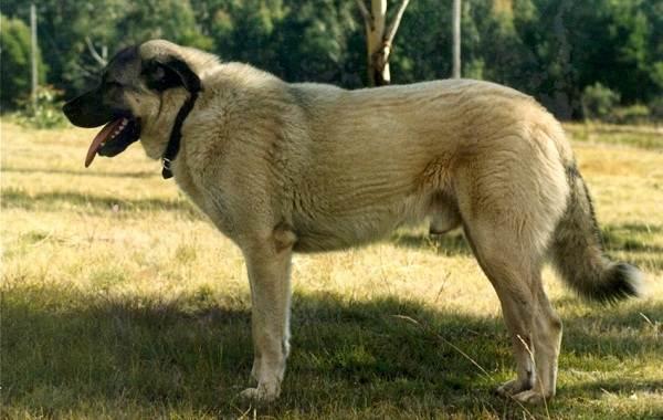 Анатолийская-овчарка-собака-Описание-особенности-характер-уход-и-цена-породы-9