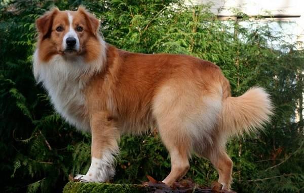 Английская-овчарка-собака-Описание-особенности-виды-характер-уход-и-цена-породы-1