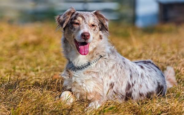 Английская-овчарка-собака-Описание-особенности-виды-характер-уход-и-цена-породы-11