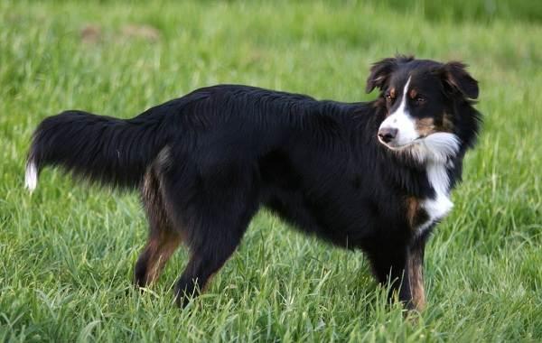 Английская-овчарка-собака-Описание-особенности-виды-характер-уход-и-цена-породы-2