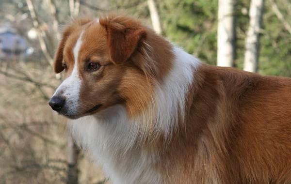 Английская-овчарка-собака-Описание-особенности-виды-характер-уход-и-цена-породы-3