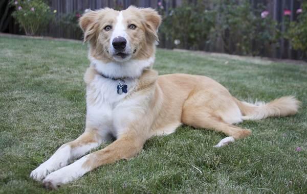Английская-овчарка-собака-Описание-особенности-виды-характер-уход-и-цена-породы-6