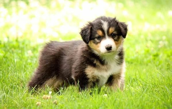 Английская-овчарка-собака-Описание-особенности-виды-характер-уход-и-цена-породы-9
