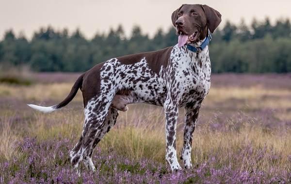 Курцхаар-охотничья-собака-Описание-особенности-характер-уход-и-цена-породы-1