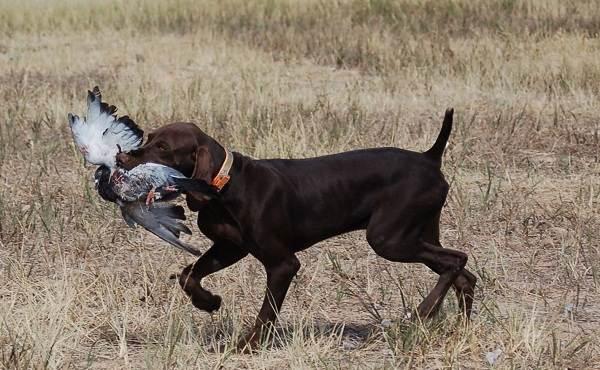 Курцхаар-охотничья-собака-Описание-особенности-характер-уход-и-цена-породы-10