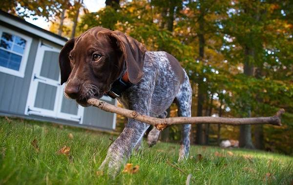 Курцхаар-охотничья-собака-Описание-особенности-характер-уход-и-цена-породы-11