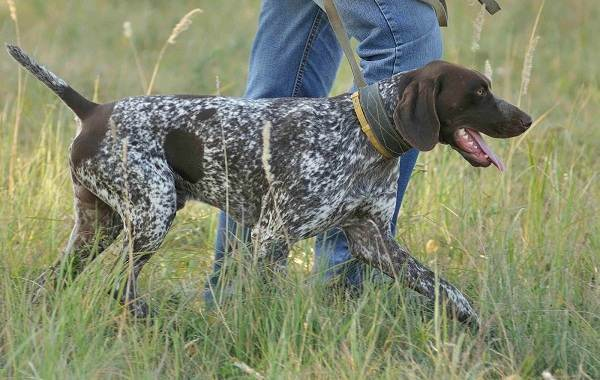 Курцхаар-охотничья-собака-Описание-особенности-характер-уход-и-цена-породы-12