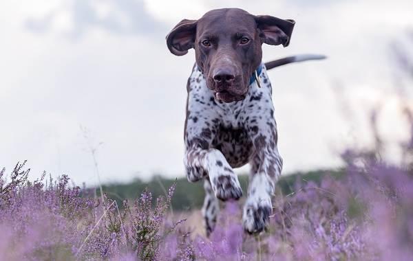 Курцхаар-охотничья-собака-Описание-особенности-характер-уход-и-цена-породы-2