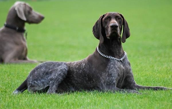 Курцхаар-охотничья-собака-Описание-особенности-характер-уход-и-цена-породы-3
