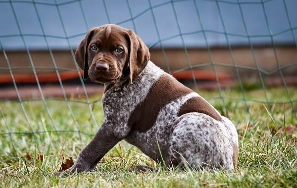 Курцхаар-охотничья-собака-Описание-особенности-характер-уход-и-цена-породы-4