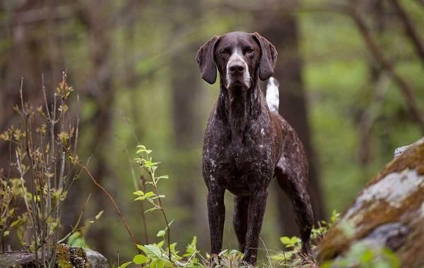 Курцхаар-охотничья-собака-Описание-особенности-характер-уход-и-цена-породы-5
