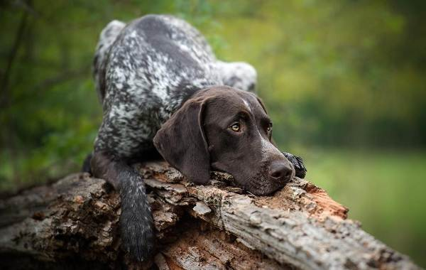 Курцхаар-охотничья-собака-Описание-особенности-характер-уход-и-цена-породы-6