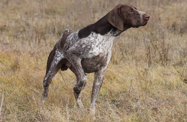 Курцхаар-охотничья-собака-Описание-особенности-характер-уход-и-цена-породы-7