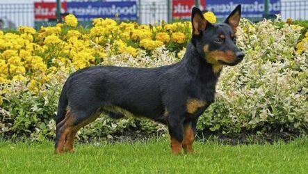 Ланкаширский хилер собака. Описание, характер, особенности, уход и цена породы