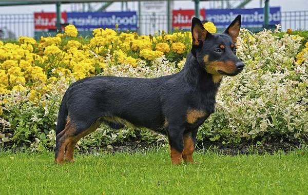 Ланкаширский-хилер-собака-Описание-характер-особенности-уход-и-цена-породы-1