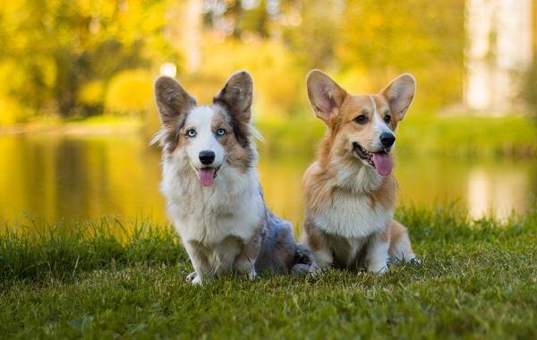 Ланкаширский-хилер-собака-Описание-характер-особенности-уход-и-цена-породы-11