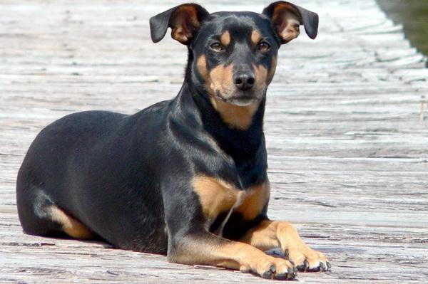 Ланкаширский-хилер-собака-Описание-характер-особенности-уход-и-цена-породы-12