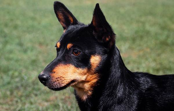 Ланкаширский-хилер-собака-Описание-характер-особенности-уход-и-цена-породы-2