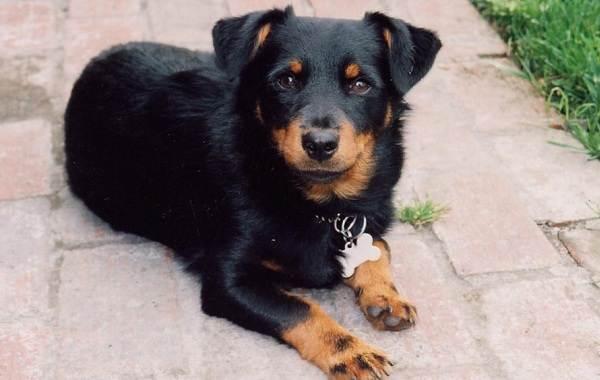 Ланкаширский-хилер-собака-Описание-характер-особенности-уход-и-цена-породы-3