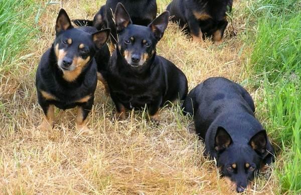 Ланкаширский-хилер-собака-Описание-характер-особенности-уход-и-цена-породы-4