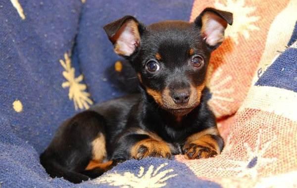 Ланкаширский-хилер-собака-Описание-характер-особенности-уход-и-цена-породы-5
