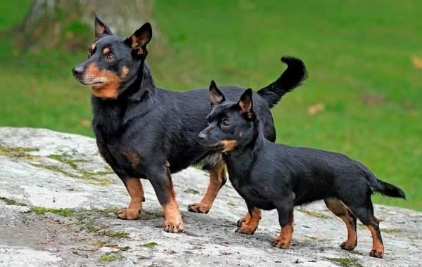 Ланкаширский-хилер-собака-Описание-характер-особенности-уход-и-цена-породы-7
