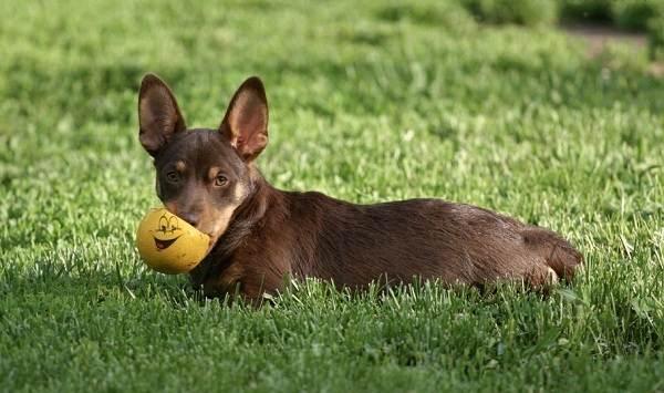 Ланкаширский-хилер-собака-Описание-характер-особенности-уход-и-цена-породы-9