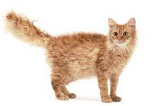 Лаперм кошка. Описание, особенности, виды, характер, уход и цена породы лаперм