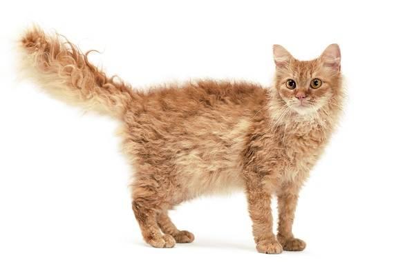 Лаперм-кошка-Описание-особенности-виды-характер-уход-и-цена-породы-лаперм-1