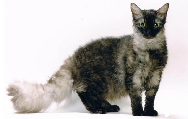 Лаперм-кошка-Описание-особенности-виды-характер-уход-и-цена-породы-лаперм-10