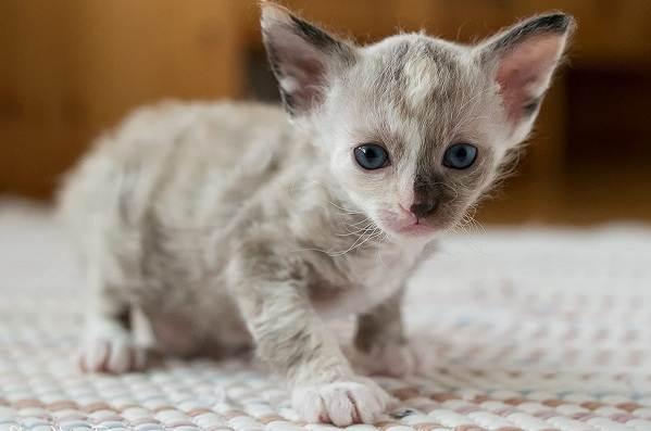Лаперм-кошка-Описание-особенности-виды-характер-уход-и-цена-породы-лаперм-11