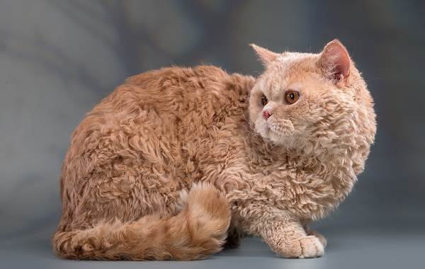 Лаперм-кошка-Описание-особенности-виды-характер-уход-и-цена-породы-лаперм-2